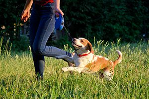 Cute playful beagle puppy running next to its owner